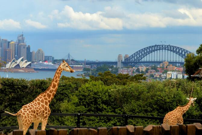 Top 20 things to do in Sydney: Giraffes at the Taronga Zoo with the Sydney Opera House in the background