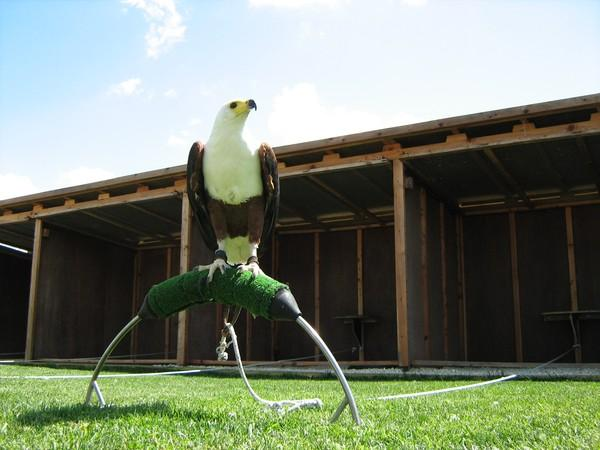 things to do in Malta:Falconry Centre
