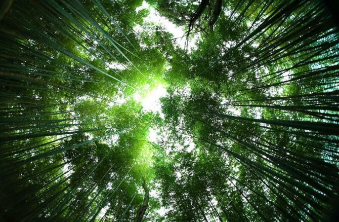 Top 20 things to do in Kyoto: Looking up in the Sagano Bamboo Forest