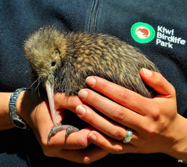 Top 20 things to do in Queenstown: Kiwi Birdlife Park